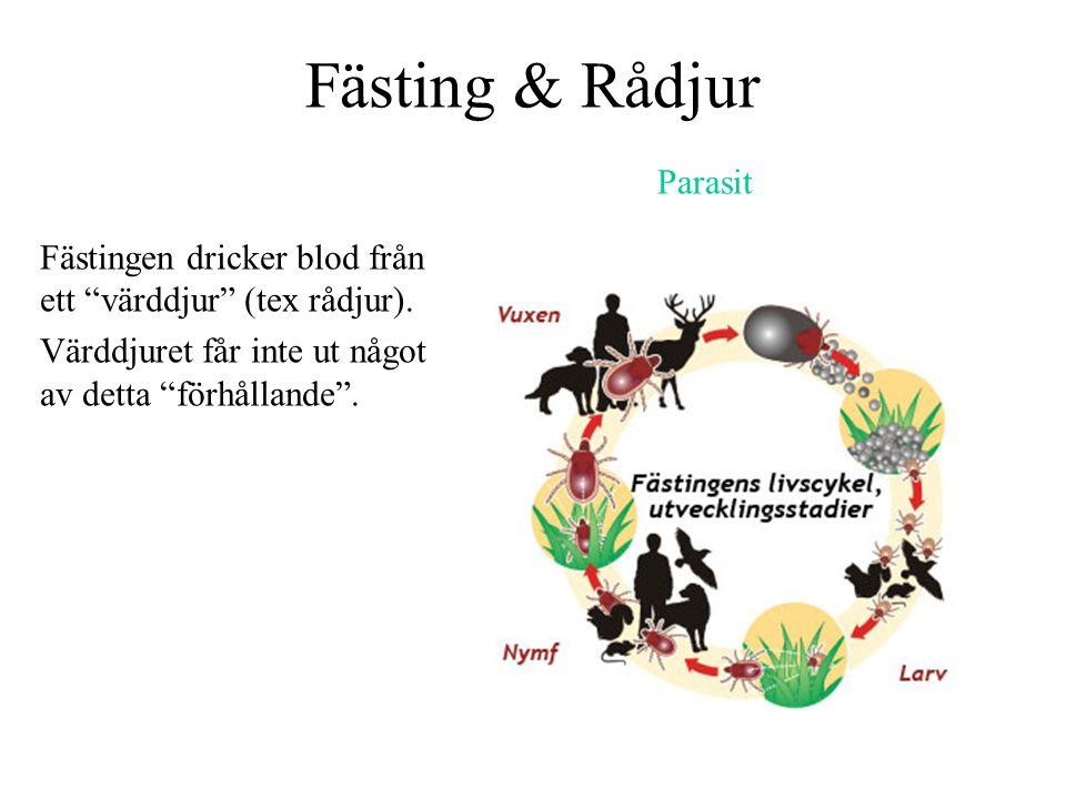 """Fästing & Rådjur Fästingen dricker blod från ett """"värddjur"""" (tex rådjur). Värddjuret får inte ut något av detta """"förhållande"""". Parasit"""