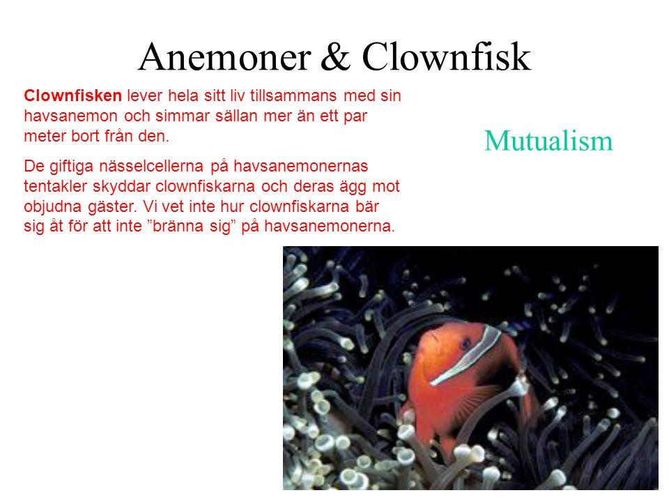 Anemoner & Clownfisk Mutualism Clownfisken lever hela sitt liv tillsammans med sin havsanemon och simmar sällan mer än ett par meter bort från den. De