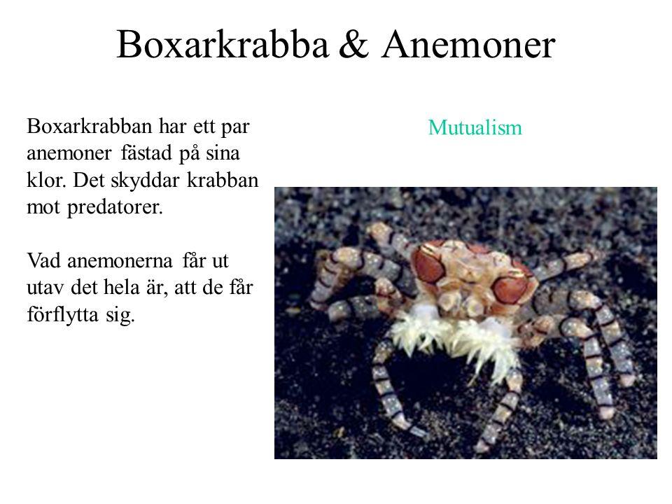 Boxarkrabba & Anemoner Boxarkrabban har ett par anemoner fästad på sina klor. Det skyddar krabban mot predatorer. Vad anemonerna får ut utav det hela