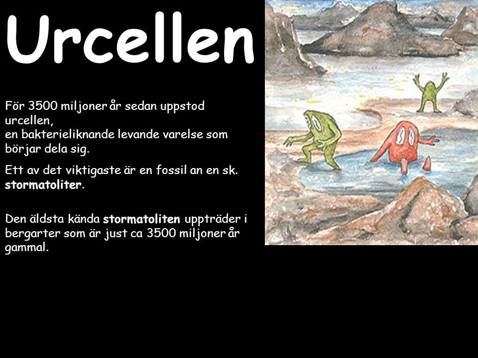 Urcellen För 3500 miljoner år sedan uppstod urcellen, en bakterieliknande levande varelse som börjar dela sig.
