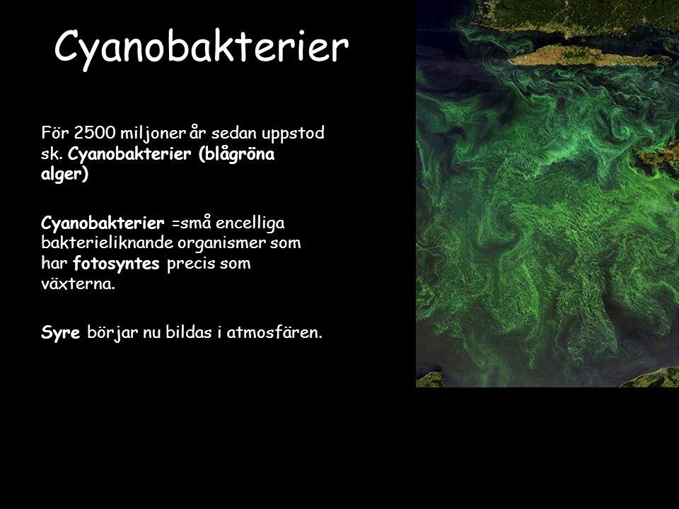 Cyanobakterier För 2500 miljoner år sedan uppstod sk.