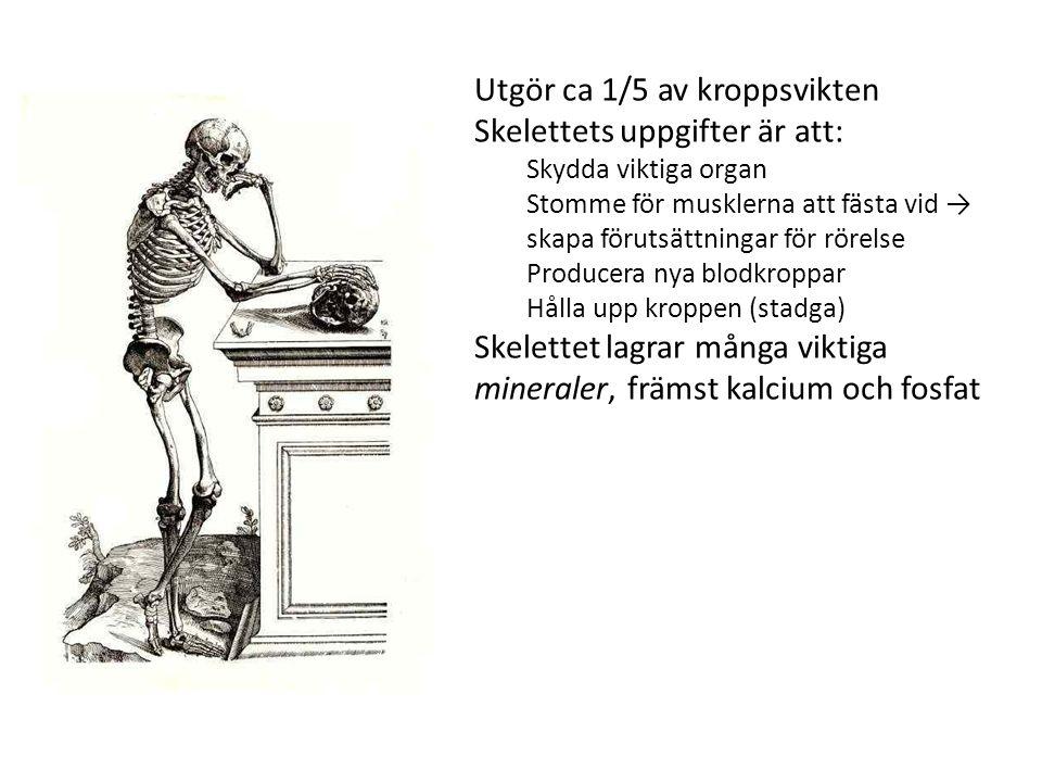 Utgör ca 1/5 av kroppsvikten Skelettets uppgifter är att: Skydda viktiga organ Stomme för musklerna att fästa vid → skapa förutsättningar för rörelse