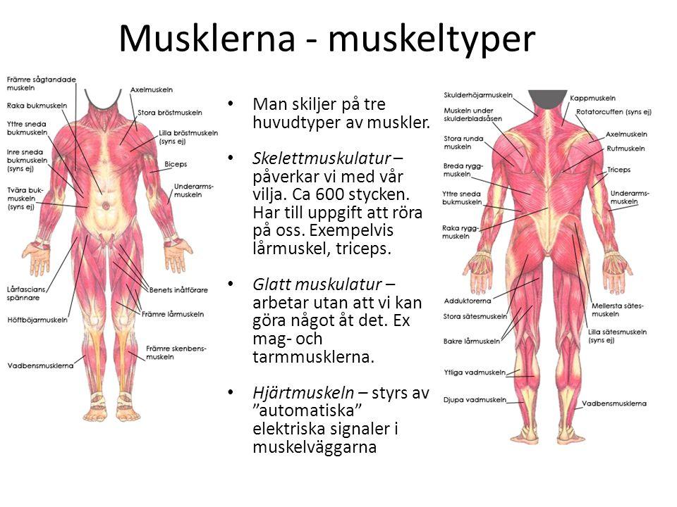 Musklerna - muskeltyper Man skiljer på tre huvudtyper av muskler. Skelettmuskulatur – påverkar vi med vår vilja. Ca 600 stycken. Har till uppgift att