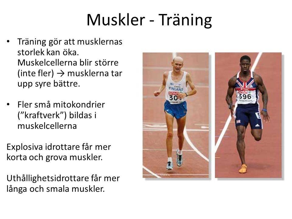 Muskler - Träning Träning gör att musklernas storlek kan öka. Muskelcellerna blir större (inte fler) → musklerna tar upp syre bättre. Fler små mitokon