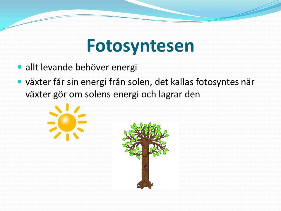 Fotosyntesen allt levande behöver energi växter får sin energi från solen, det kallas fotosyntes när växter gör om solens energi och lagrar den