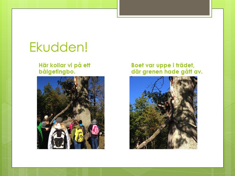 Ekudden! Här kollar vi på ett bålgetingbo. Boet var uppe i trädet, där grenen hade gått av.
