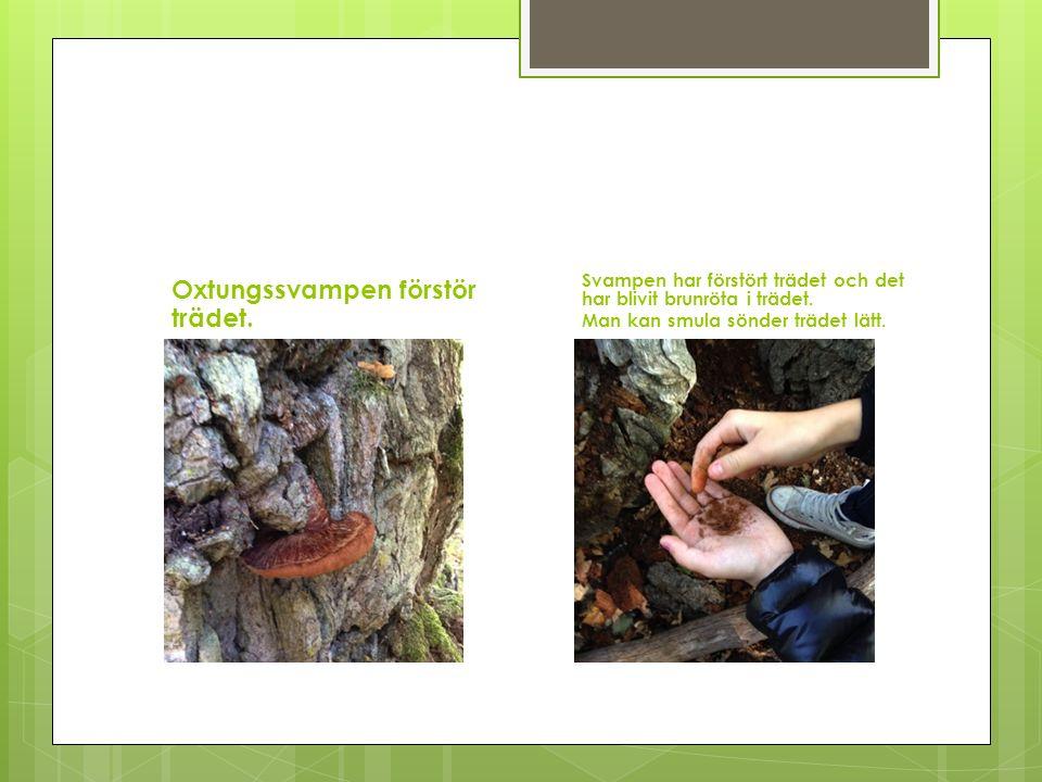 Oxtungssvampen förstör trädet. Svampen har förstört trädet och det har blivit brunröta i trädet. Man kan smula sönder trädet lätt.