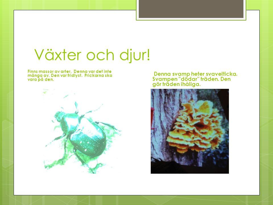 Växter och djur! Finns massor av arter. Denna var det inte många av. Den var fridlyst. Prickarna ska vara på den. Denna svamp heter svavelticka. Svamp