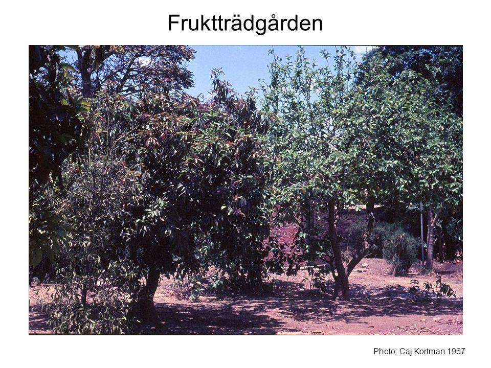 Fruktträdgården Photo: Caj Kortman 1967