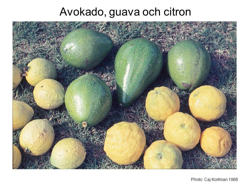 Avokado, guava och citron Photo: Caj Kortman 1968
