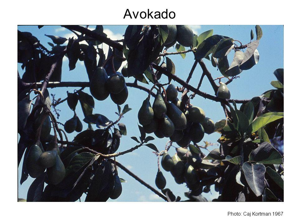 Avokado Photo: Caj Kortman 1967