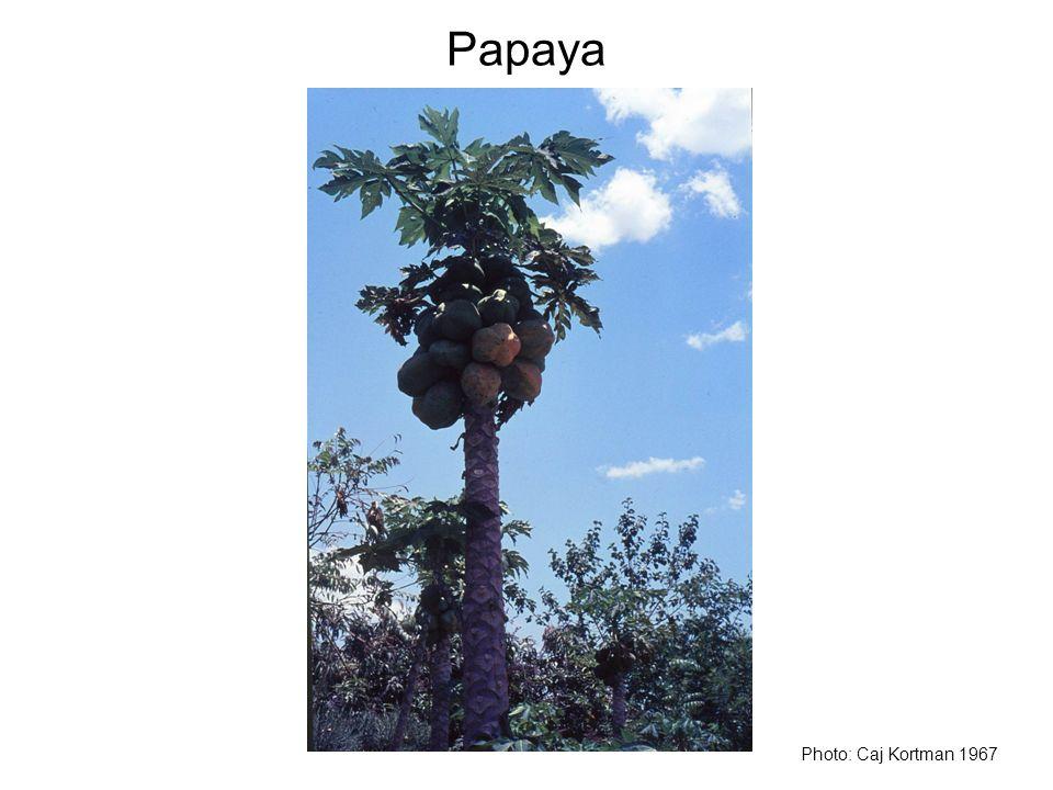 Papaya Photo: Caj Kortman 1967