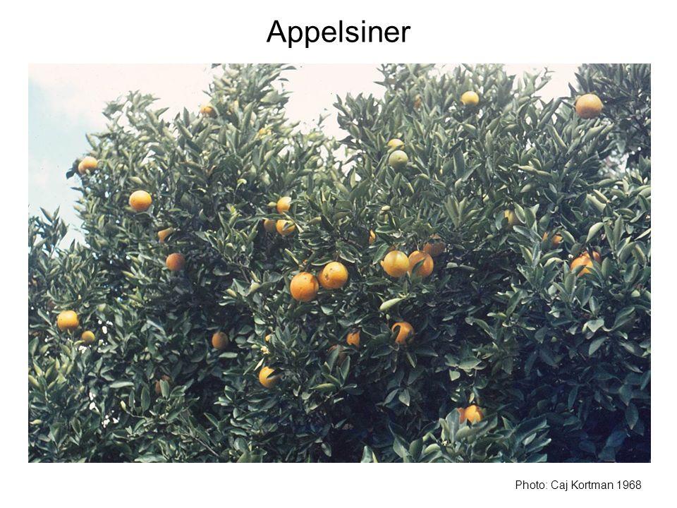 Appelsiner Photo: Caj Kortman 1968