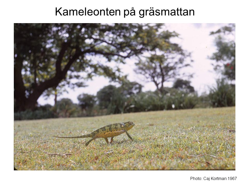 Kameleonten på gräsmattan Photo: Caj Kortman 1967