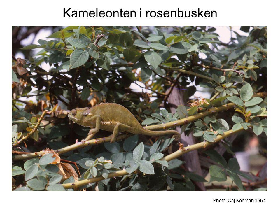Kameleonten i rosenbusken Photo: Caj Kortman 1967