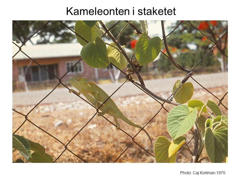 Kameleonten i staketet Photo: Caj Kortman 1970