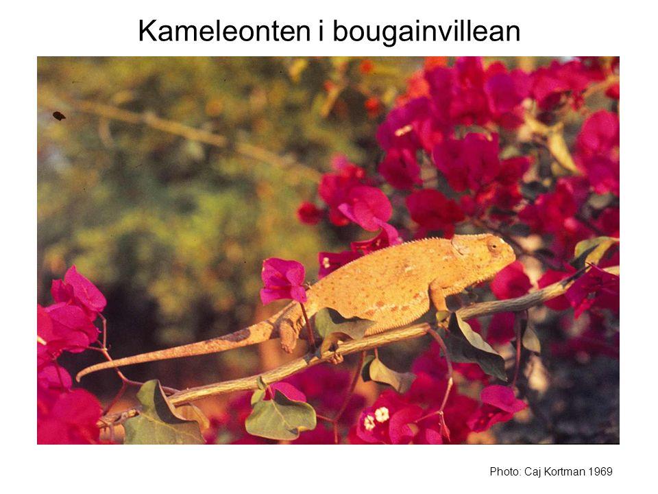 Kameleonten i bougainvillean Photo: Caj Kortman 1969