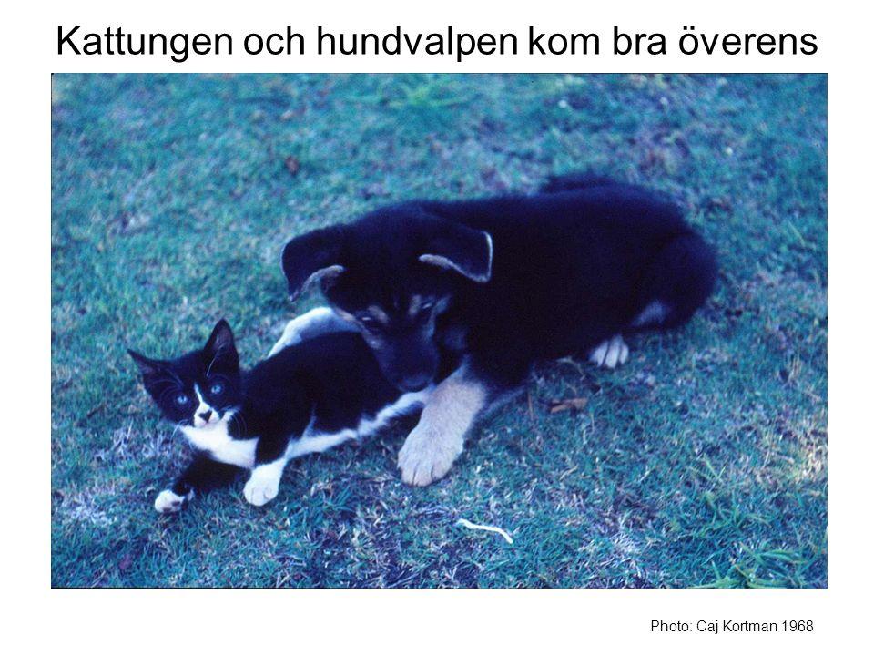 Kattungen och hundvalpen kom bra överens Photo: Caj Kortman 1968