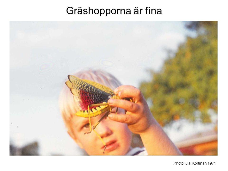 Gräshopporna är fina Photo: Caj Kortman 1971