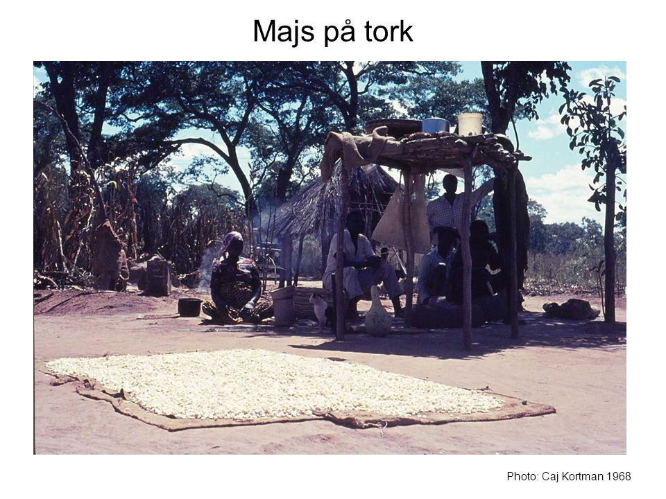 Majs på tork Photo: Caj Kortman 1968