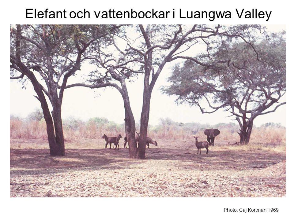 Elefant och vattenbockar i Luangwa Valley Photo: Caj Kortman 1969
