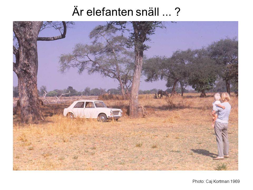 Är elefanten snäll... ? Photo: Caj Kortman 1969