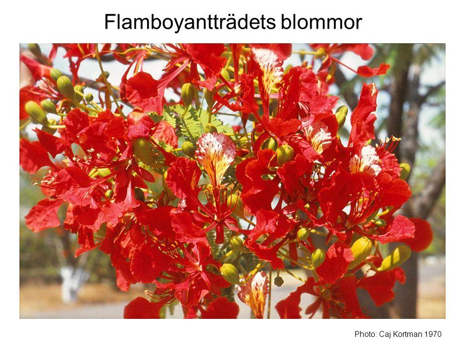 Flamboyantträdets blommor Photo: Caj Kortman 1970