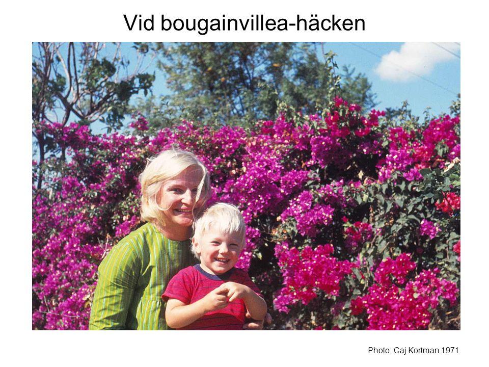 Vid bougainvillea-häcken Photo: Caj Kortman 1971