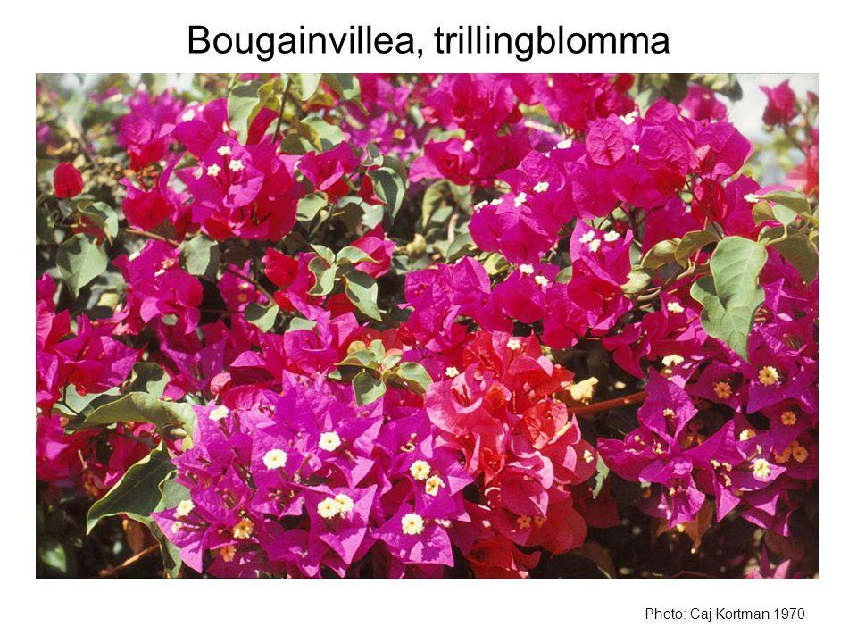 Bougainvillea, trillingblomma Photo: Caj Kortman 1970