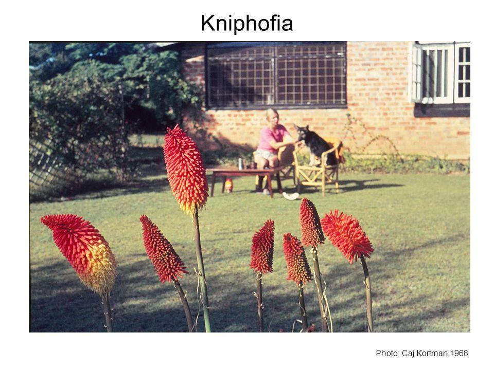 Kniphofia Photo: Caj Kortman 1968