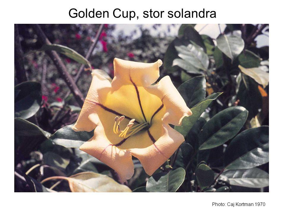 Golden Cup, stor solandra Photo: Caj Kortman 1970