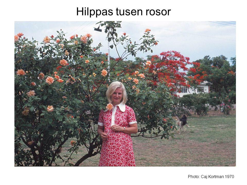 Hilppas tusen rosor Photo: Caj Kortman 1970