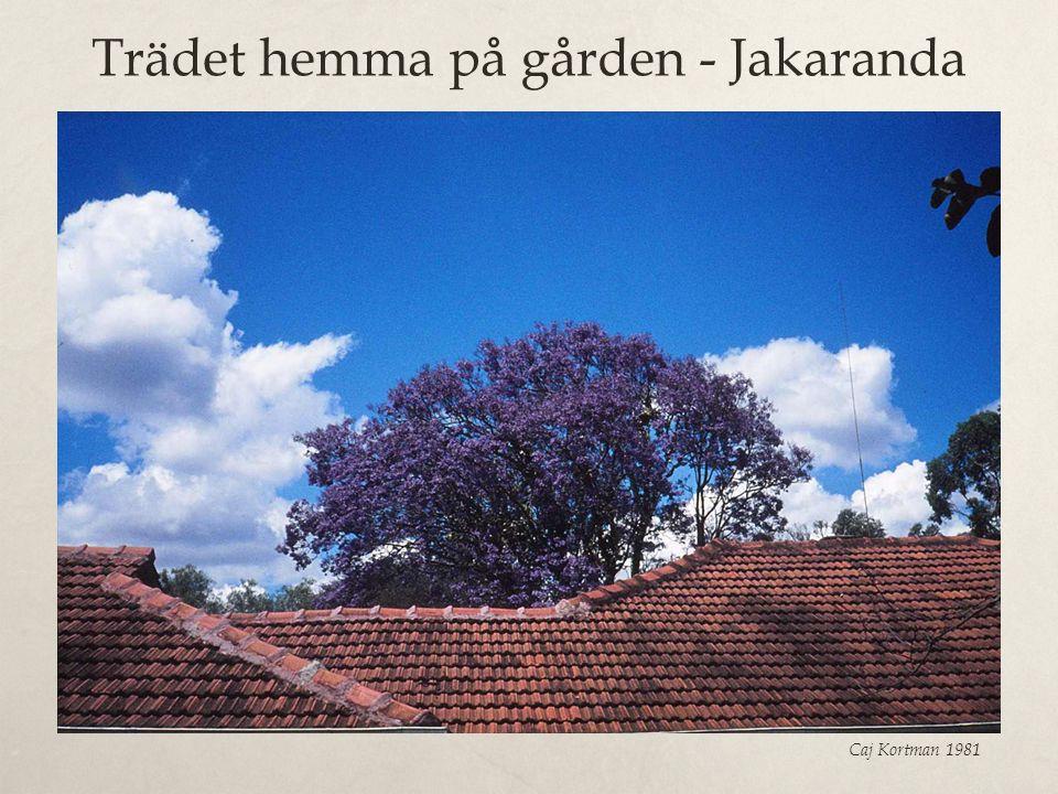 Trädet hemma på gården - Jakaranda Caj Kortman 1981