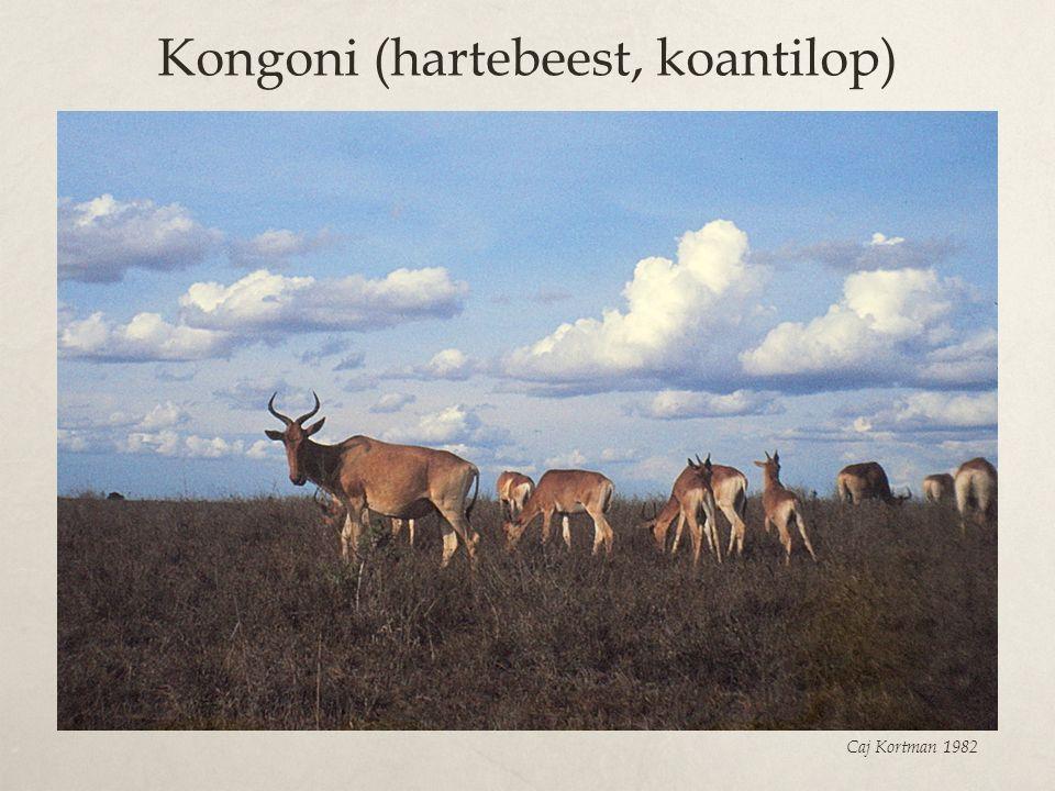 Kongoni (hartebeest, koantilop) Caj Kortman 1982