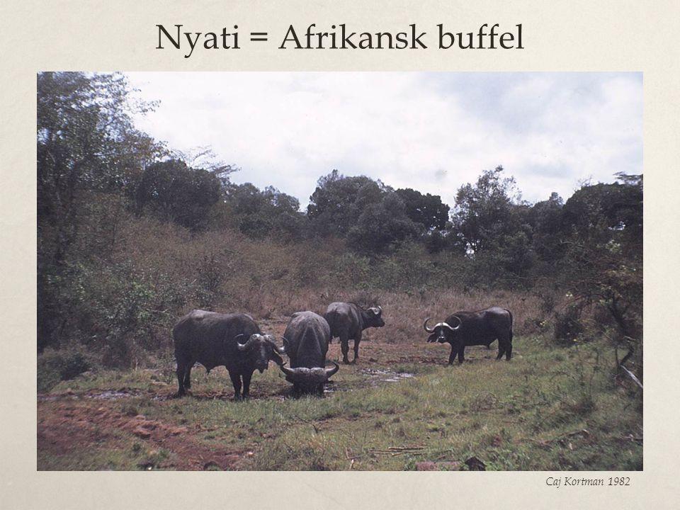 Nyati = Afrikansk buffel Caj Kortman 1982