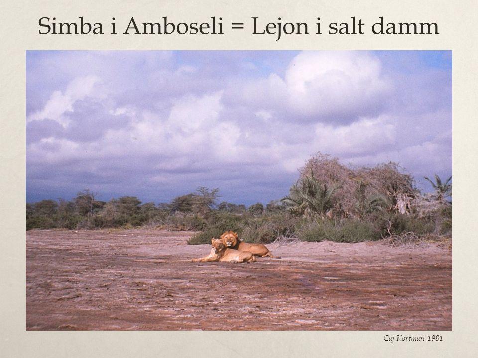 Simba i Amboseli = Lejon i salt damm Caj Kortman 1981
