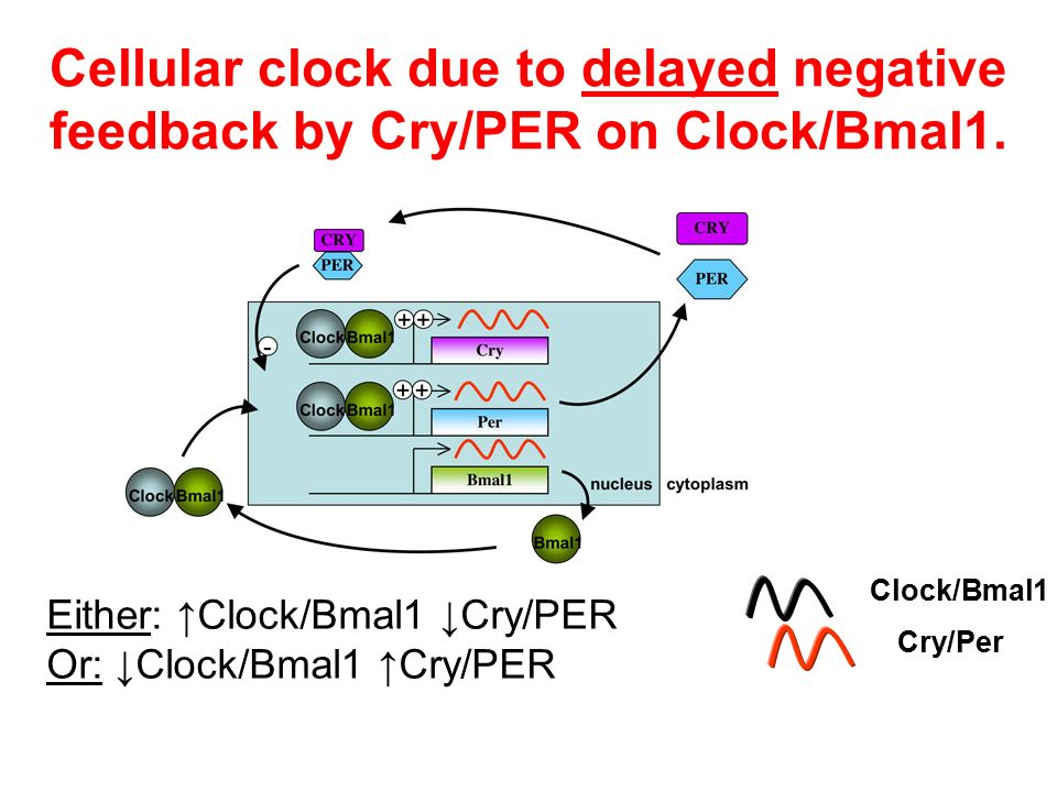 Cellular clock due to delayed negative feedback by Cry/PER on Clock/Bmal1. Either: ↑Clock/Bmal1 ↓Cry/PER Or: ↓Clock/Bmal1 ↑Cry/PER Clock/Bmal1 Cry/Per