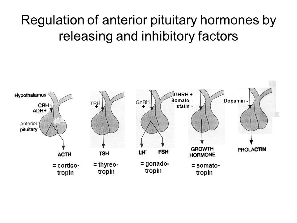 Regulation of anterior pituitary hormones by releasing and inhibitory factors GHRH + Somato- statin - Dopamin - + + ADH+ + = cortico- tropin = thyreo- tropin = gonado- tropin = somato- tropin