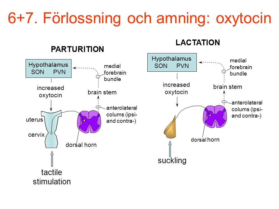 6+7. Förlossning och amning: oxytocin Hypothalamus SON PVN increased oxytocin brain stem anterolateral colums (ipsi- and contra-) medial forebrain bun