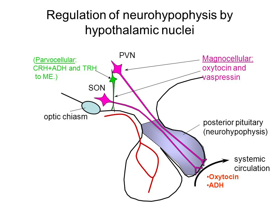 Regulation of neurohypophysis by hypothalamic nuclei SON PVN Magnocellular: oxytocin and vaspressin systemic circulation posterior pituitary (neurohyp