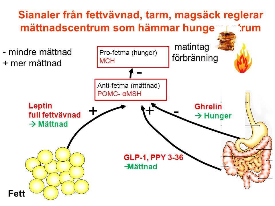 Sianaler från fettvävnad, tarm, magsäck reglerar mättnadscentrum som hämmar hungercentrum matintag förbränning Leptin full fettvävnad  Mättnad + + -