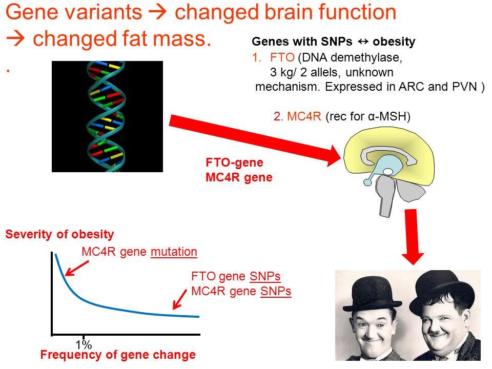 Gene variants  changed brain function  changed fat mass.. FTO-gene MC4R gene Genes with SNPs ↔ obesity 1.FTO (DNA demethylase, 3 kg/ 2 allels, unkno