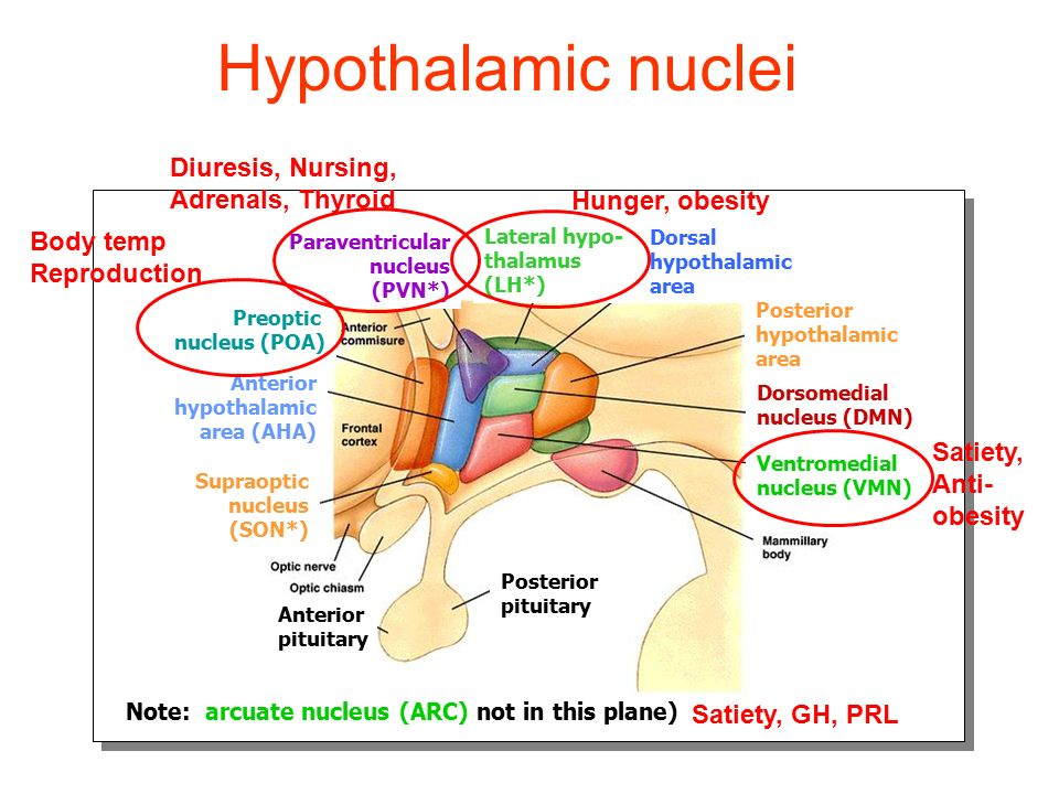 Regulation of neurohypophysis by hypothalamic nuclei SON PVN Magnocellular: oxytocin and vaspressin systemic circulation posterior pituitary (neurohypophysis) optic chiasm Oxytocin ADH (Parvocellular: CRH+ADH and TRH to ME.)