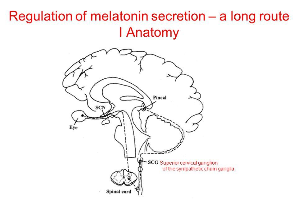 Regulation of melatonin secretion – a long route I Anatomy Superior cervical ganglion of the sympathetic chain ganglia