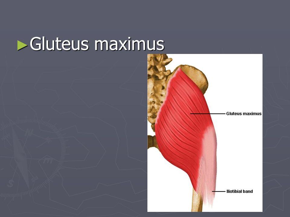 ► Gluteus maximus
