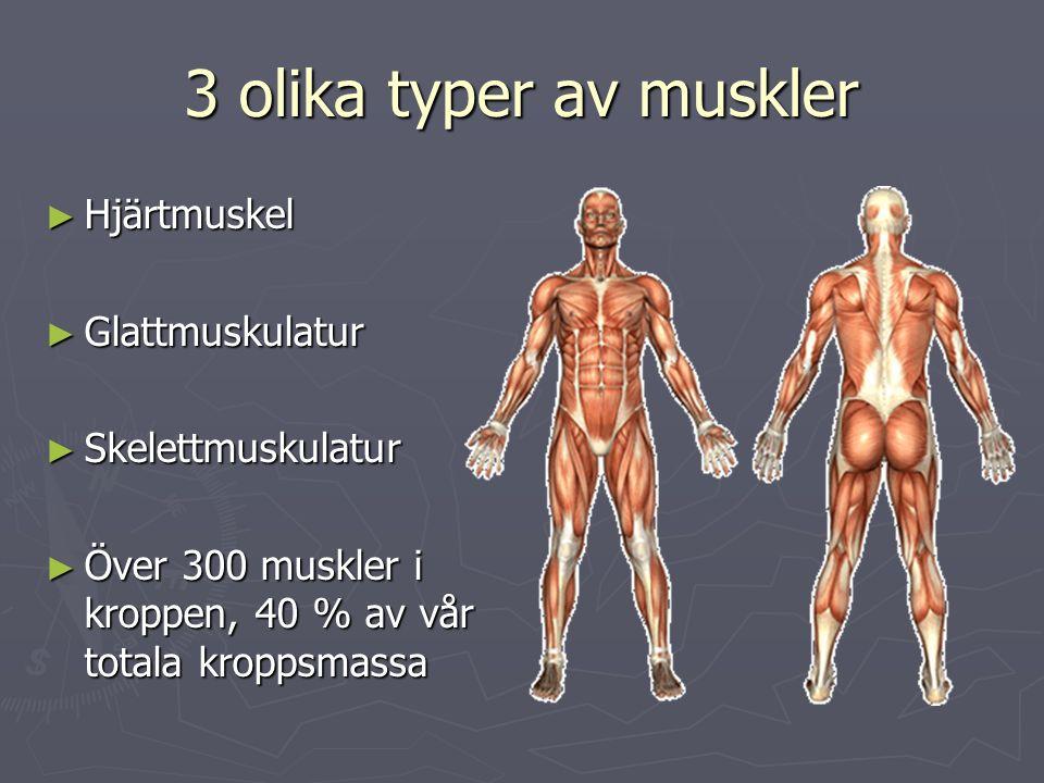 3 olika typer av muskler ► Hjärtmuskel ► Glattmuskulatur ► Skelettmuskulatur ► Över 300 muskler i kroppen, 40 % av vår totala kroppsmassa
