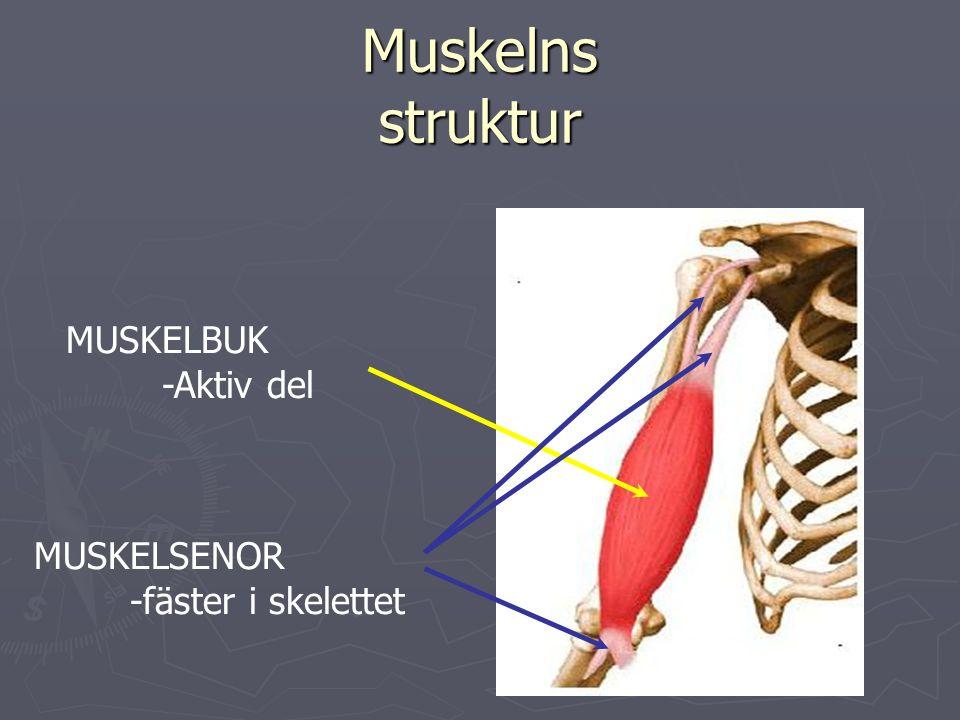 Muskelns struktur MUSKELBUK -Aktiv del MUSKELSENOR -fäster i skelettet