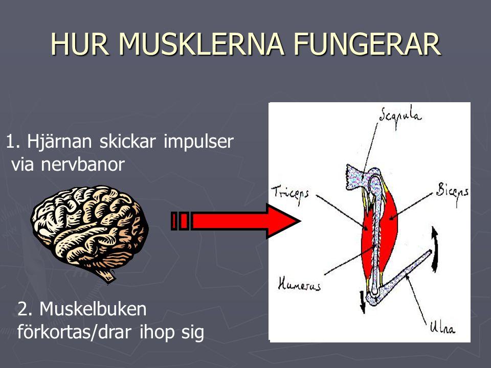 HUR MUSKLERNA FUNGERAR 1. Hjärnan skickar impulser via nervbanor 2.