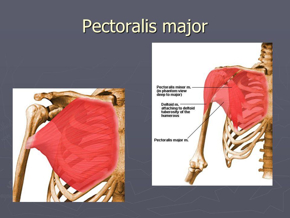 Triceps Surae – trehövdade vadmuskeln ► Gastrocnemius ► Soleus