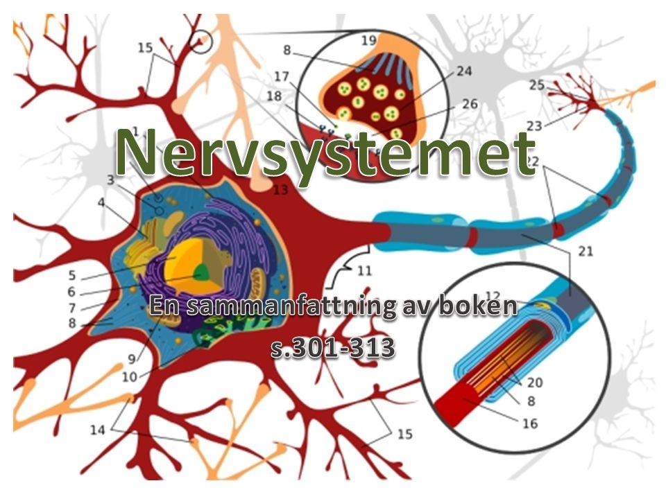 Dendrit Cellkropp Cellkärna Myelinskida Synaps Axon